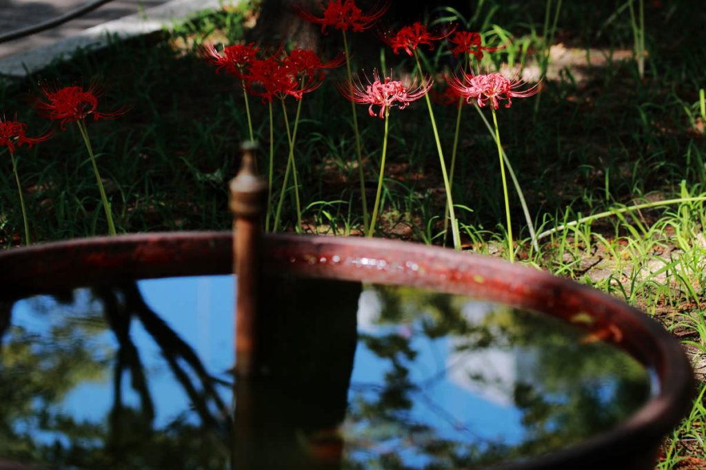 三宮・東遊園地(神戸市・中央区) 2017年9月26日の彼岸花