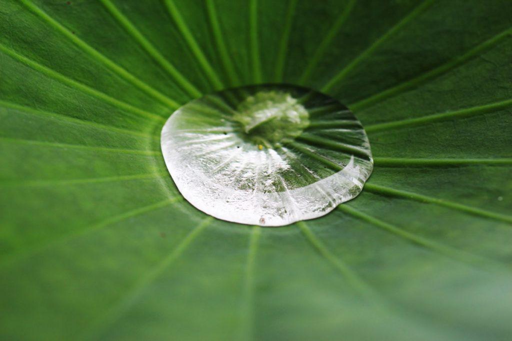 タムロン SP 90mm F2.8 Di MACRO 1:1 VC USD F004E 通称タムキューの作例写真 蓮の葉の上の水滴