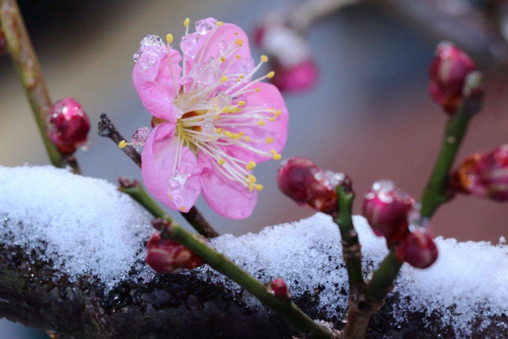タムロン SP 90mm F2.8 Di MACRO 1:1 VC USD F004E 通称タムキューの作例写真 梅の花と雪