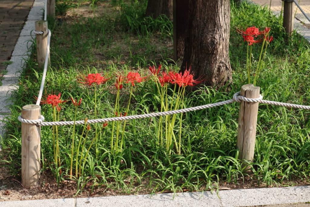 三宮・東遊園地(神戸市・中央区)2018年9月18日の彼岸花