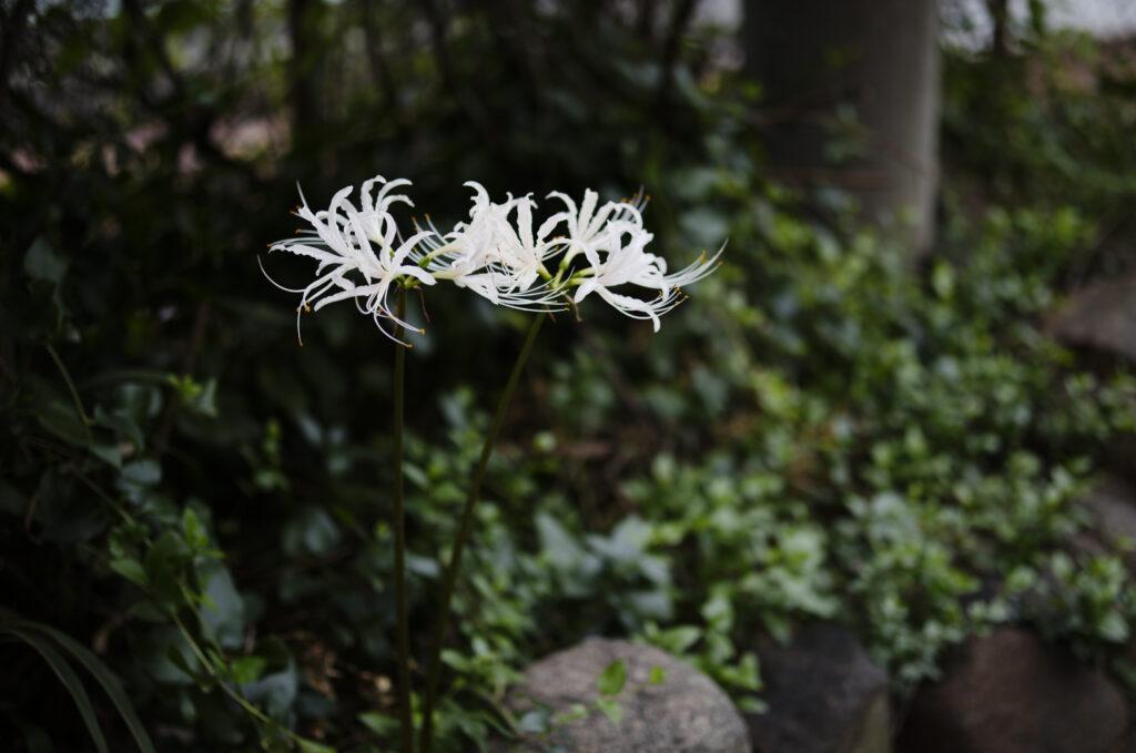 白い彼岸花 作例写真