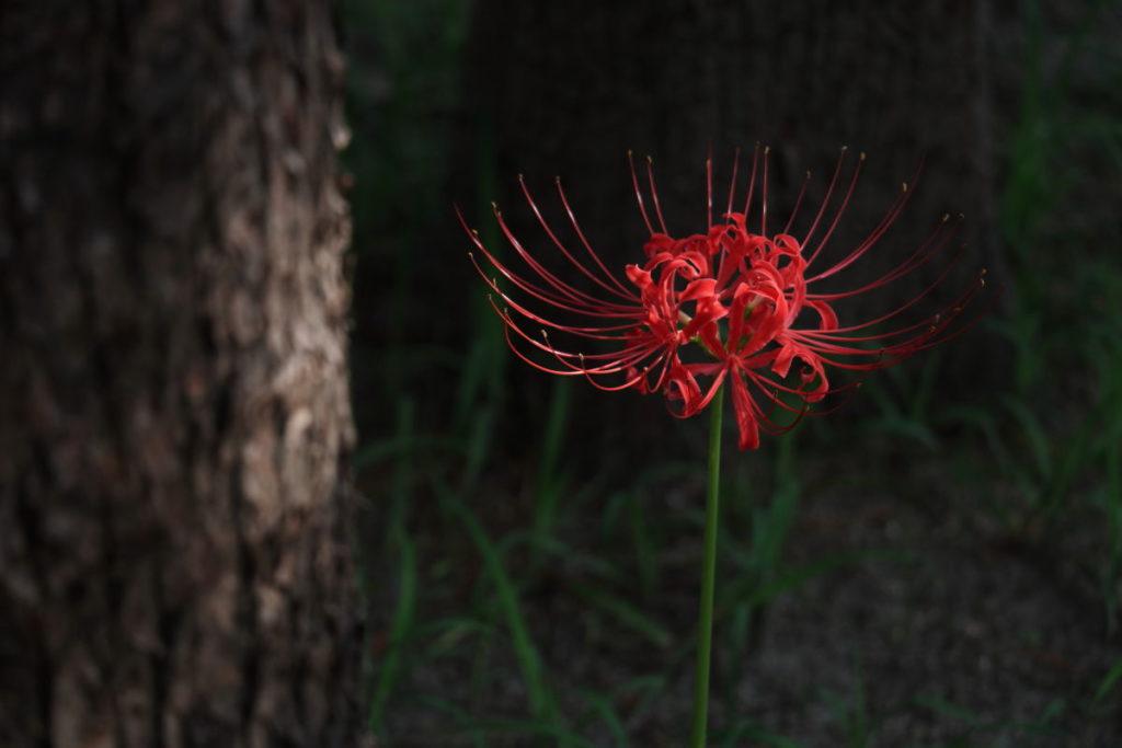 彼岸花の作例写真 光が当たる花を探して斜め上から撮影