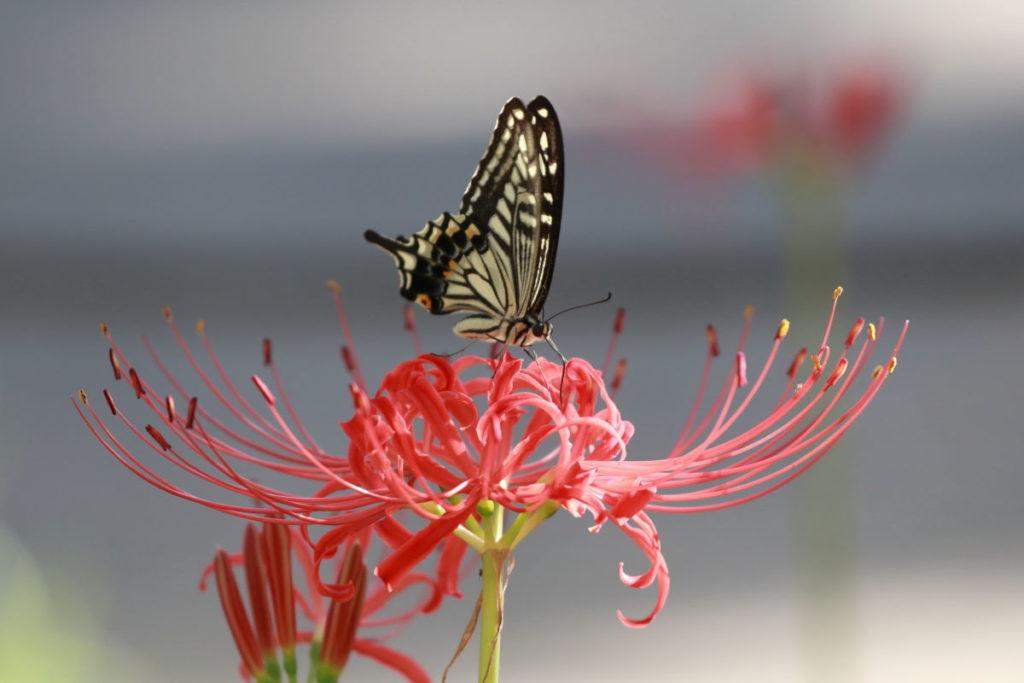 彼岸花作例写真 蝶