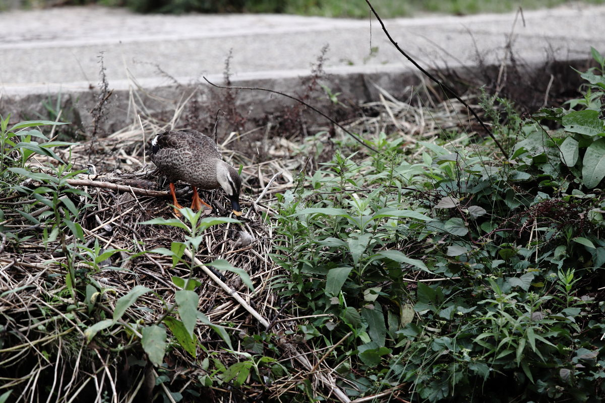 住吉川の鴨 2018年9月21日