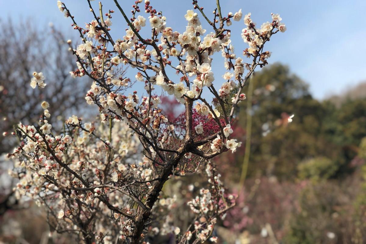 岡本梅林公園 iPhone Xで撮影