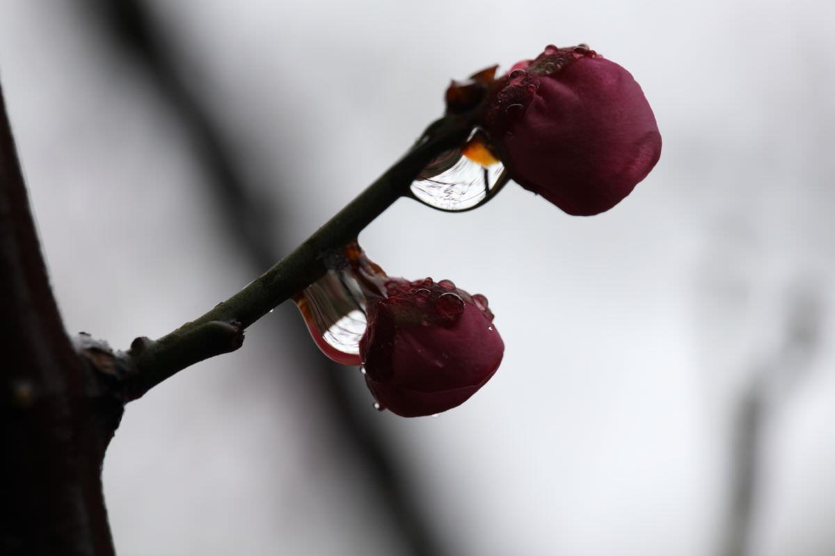 雨の日の紅梅 マクロ撮影