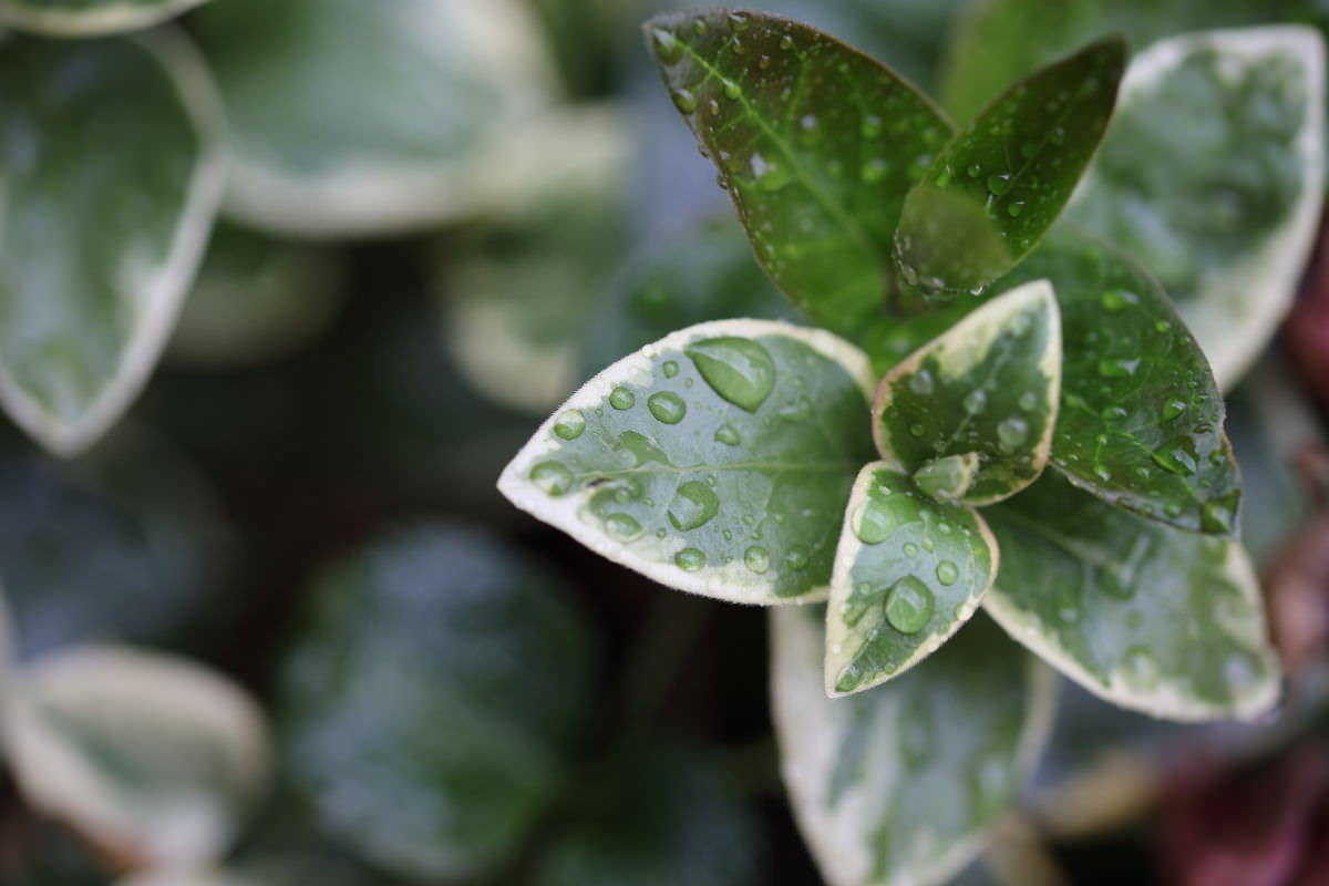 雨の日の葉っぱ マクロ撮影