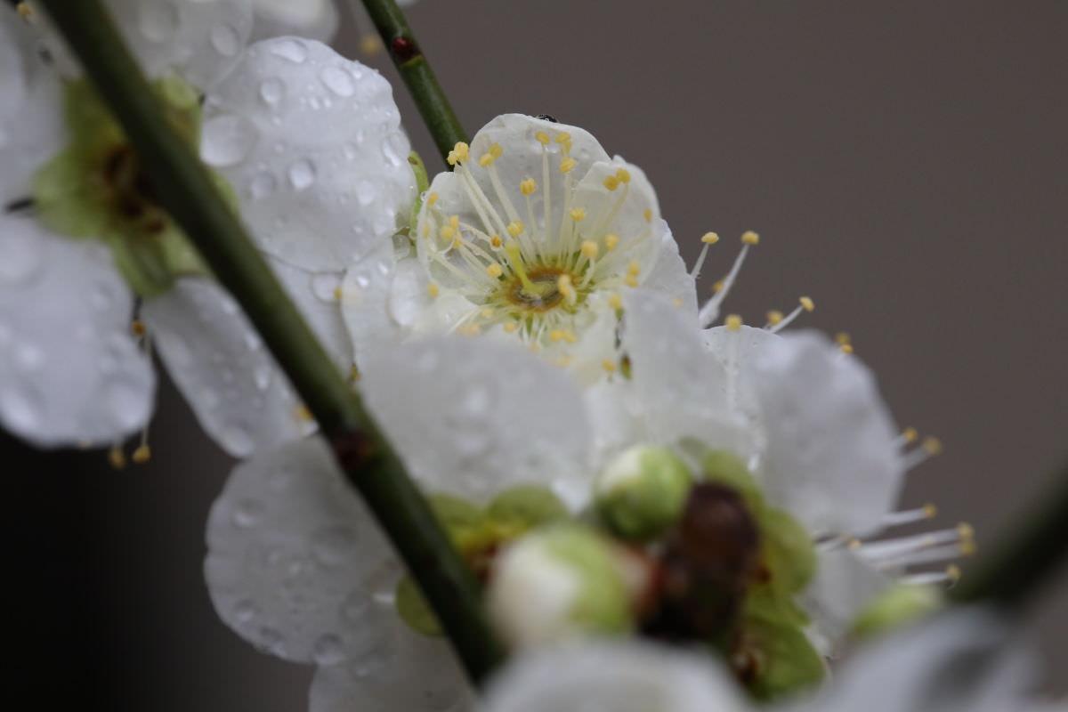 雨の日の白梅 マクロ撮影