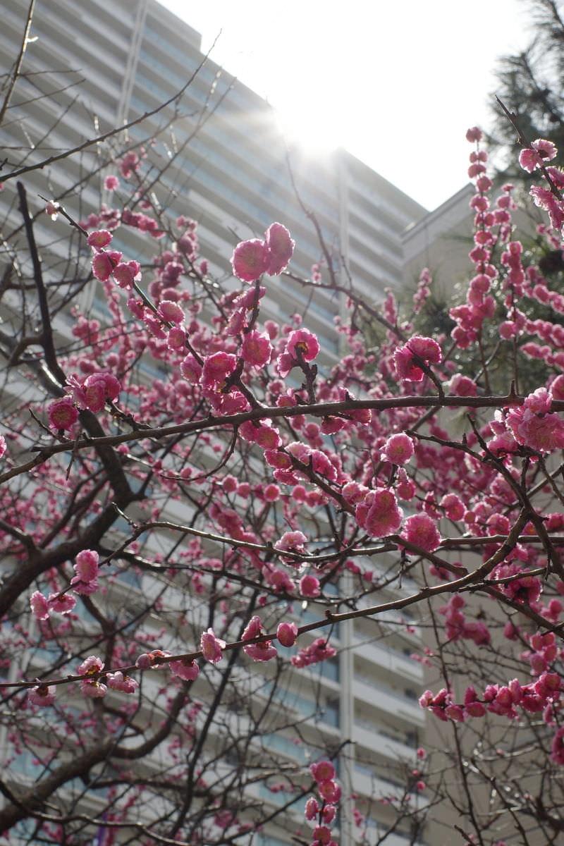 リコーGR3作例写真 街中の梅