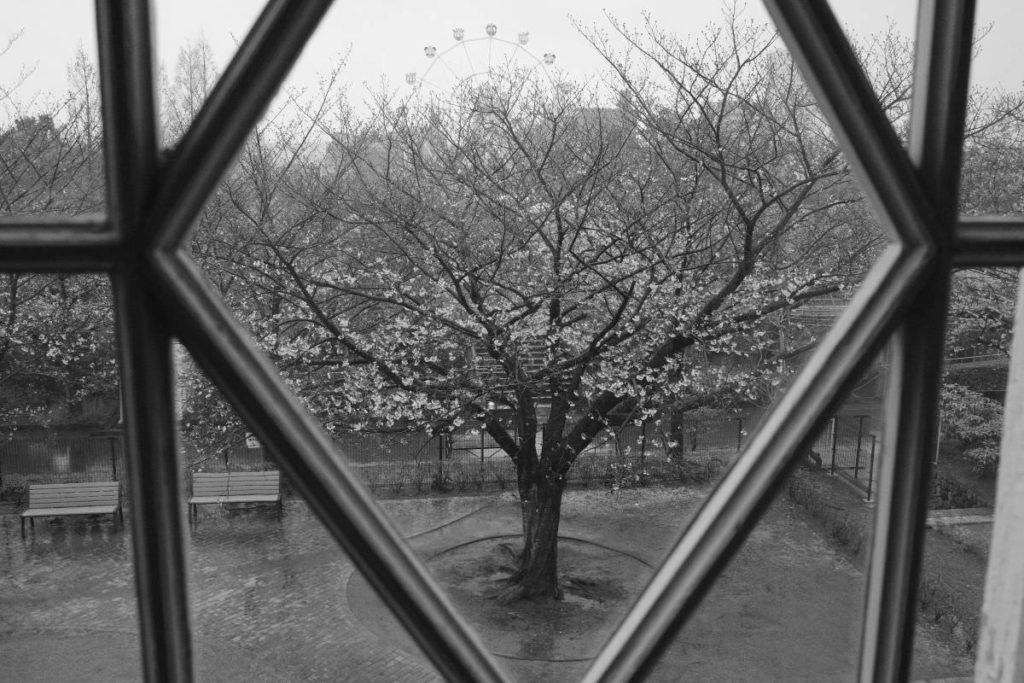 ハンター住宅から見た桜の木