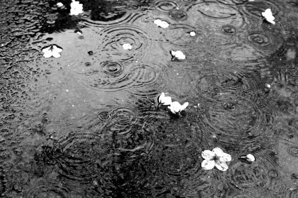 水たまりの桜の花びら