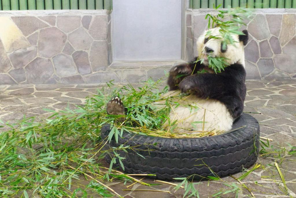 王子動物園のパンダ お食事タイム