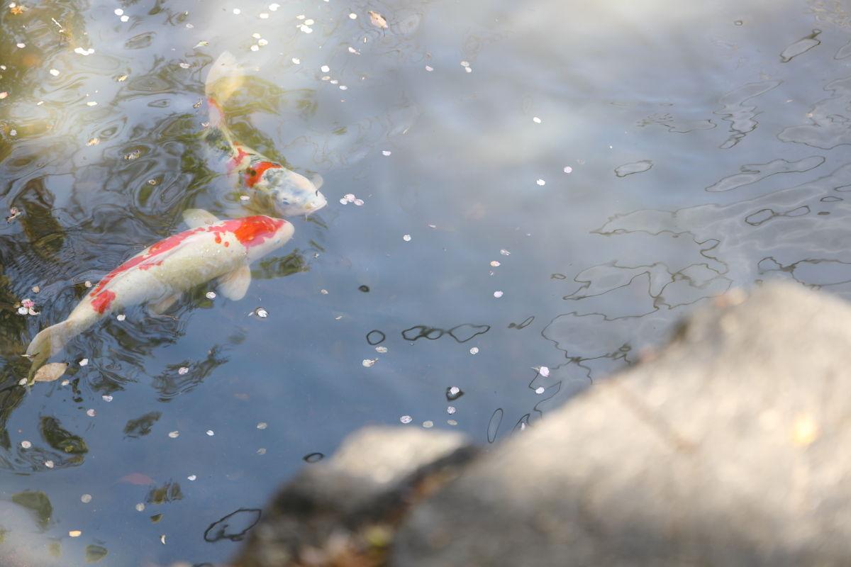 生田神社の鯉