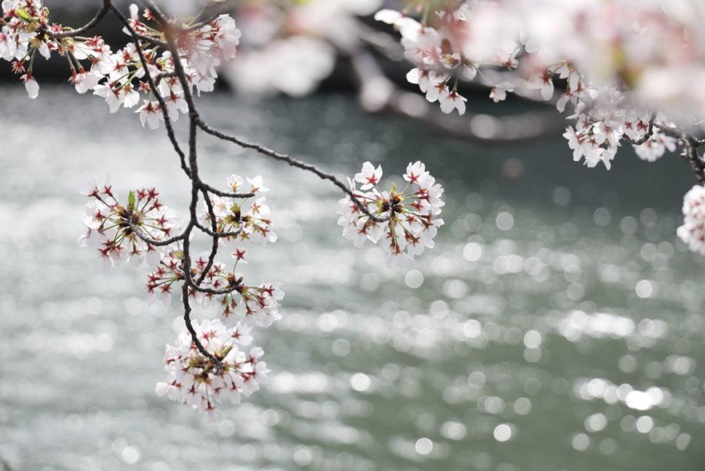 川面を背景にした桜の花