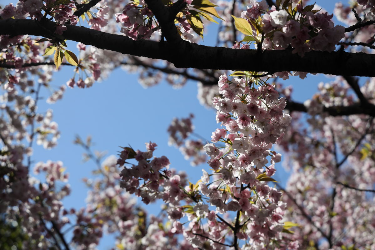 桜 岡本・桜守公園