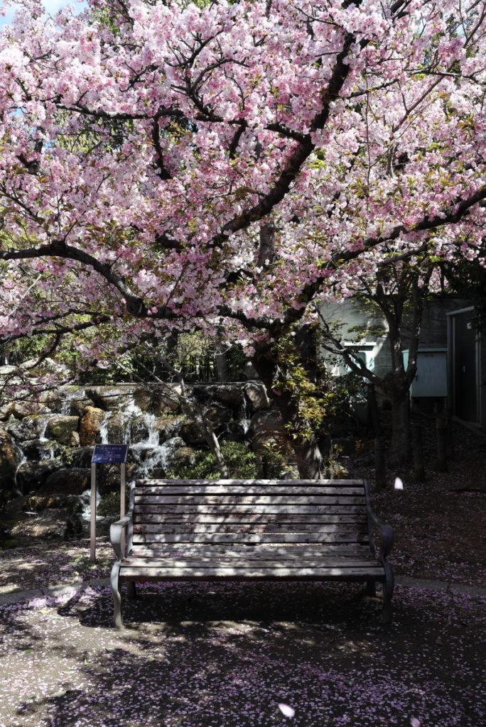 散る桜の花びら 岡本・桜守公園