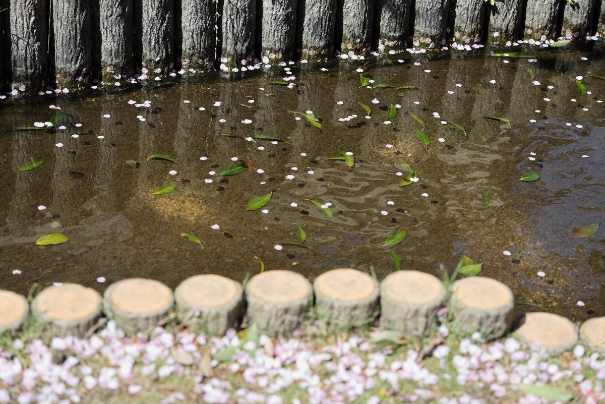 水を流れる桜 岡本・桜守公園