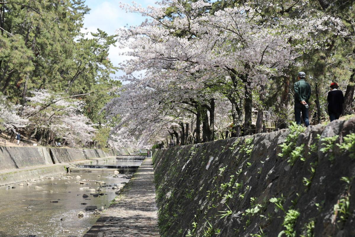 夙川 西宮市の桜