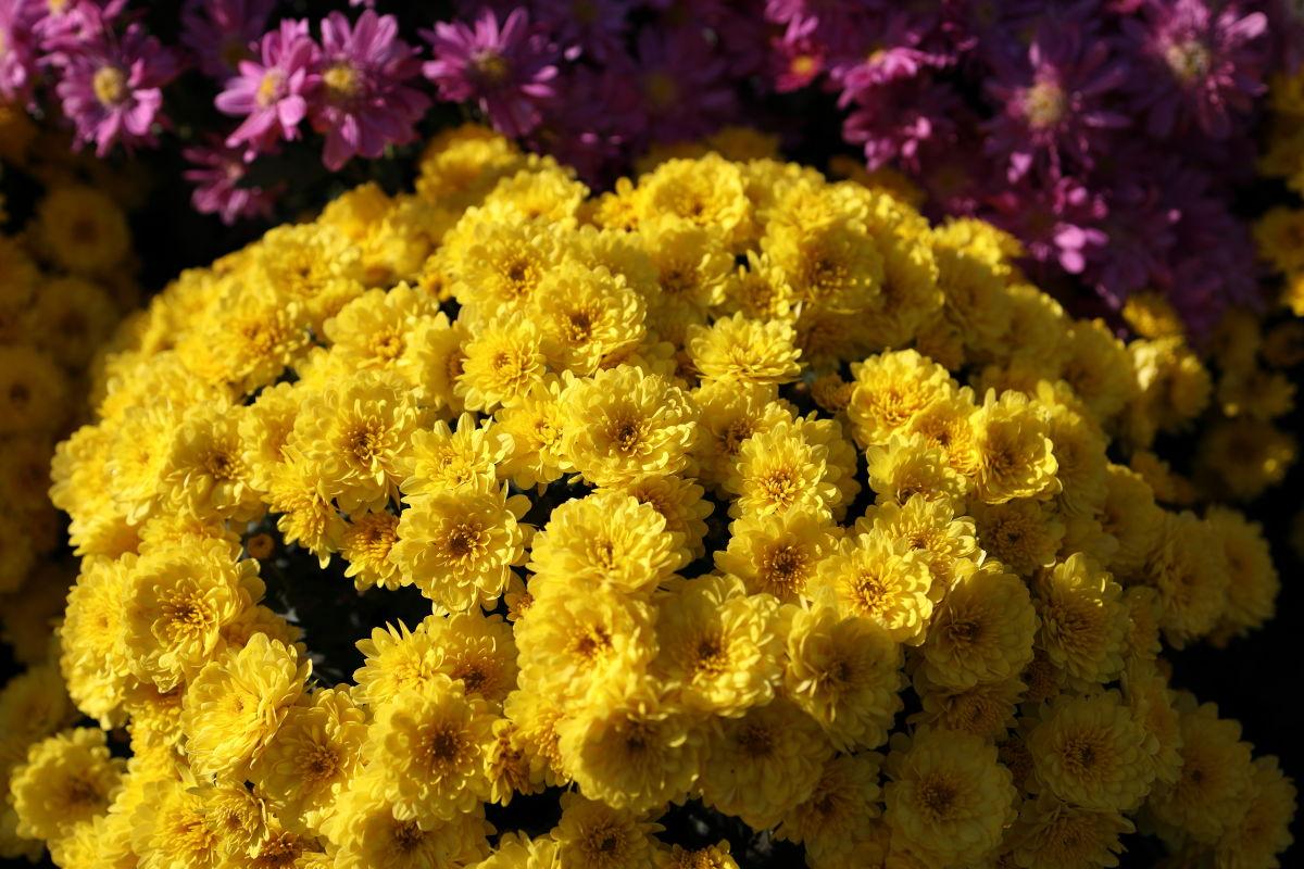 黄色い花 作例写真 RF35mm F1.8 マクロ IS STM