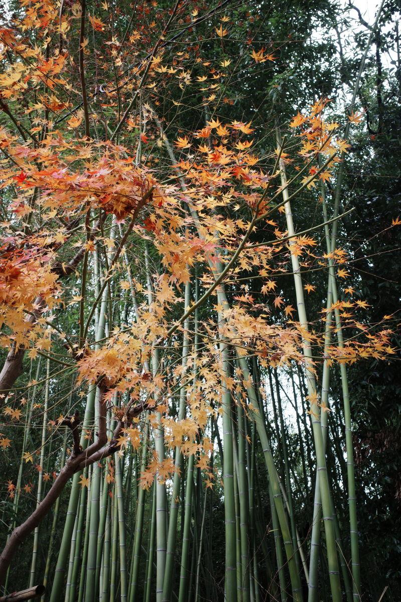 竹林の小径 竹林の小道 京都 嵐山