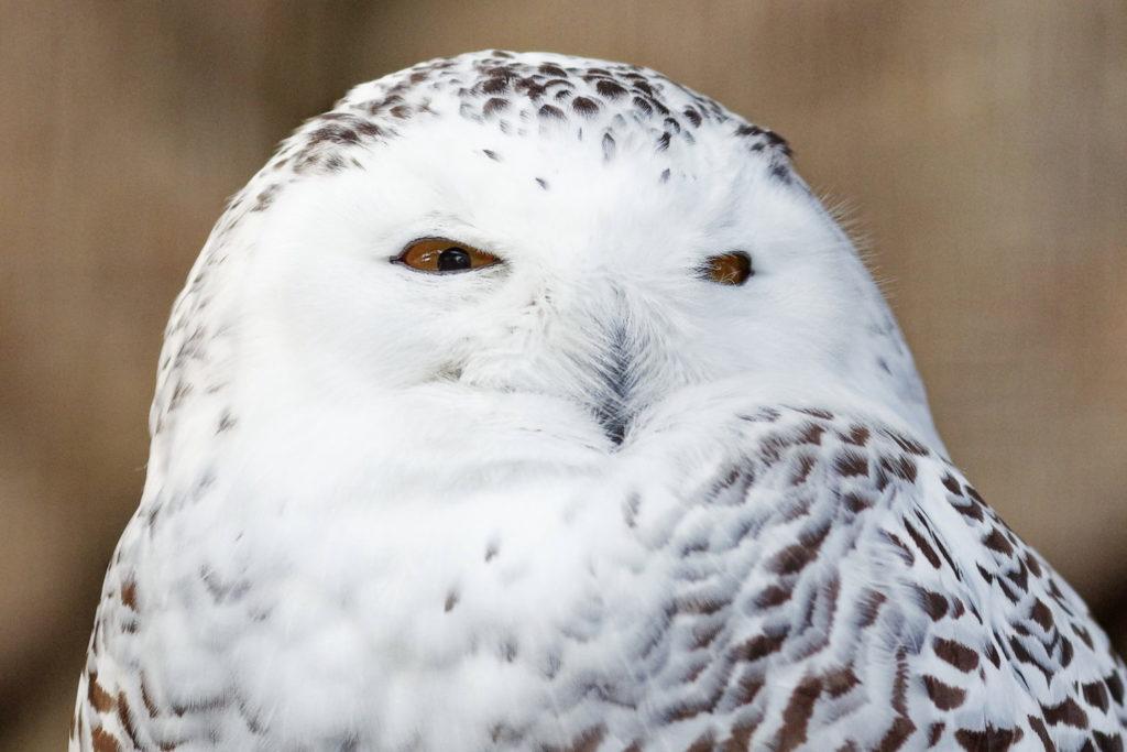 白フクロウ 作例写真 SIGMA 50-100mm F1.8 DC HSM Art 神戸市立王子動物園にて