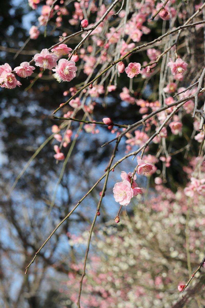 保久良神社前の枝垂れ梅