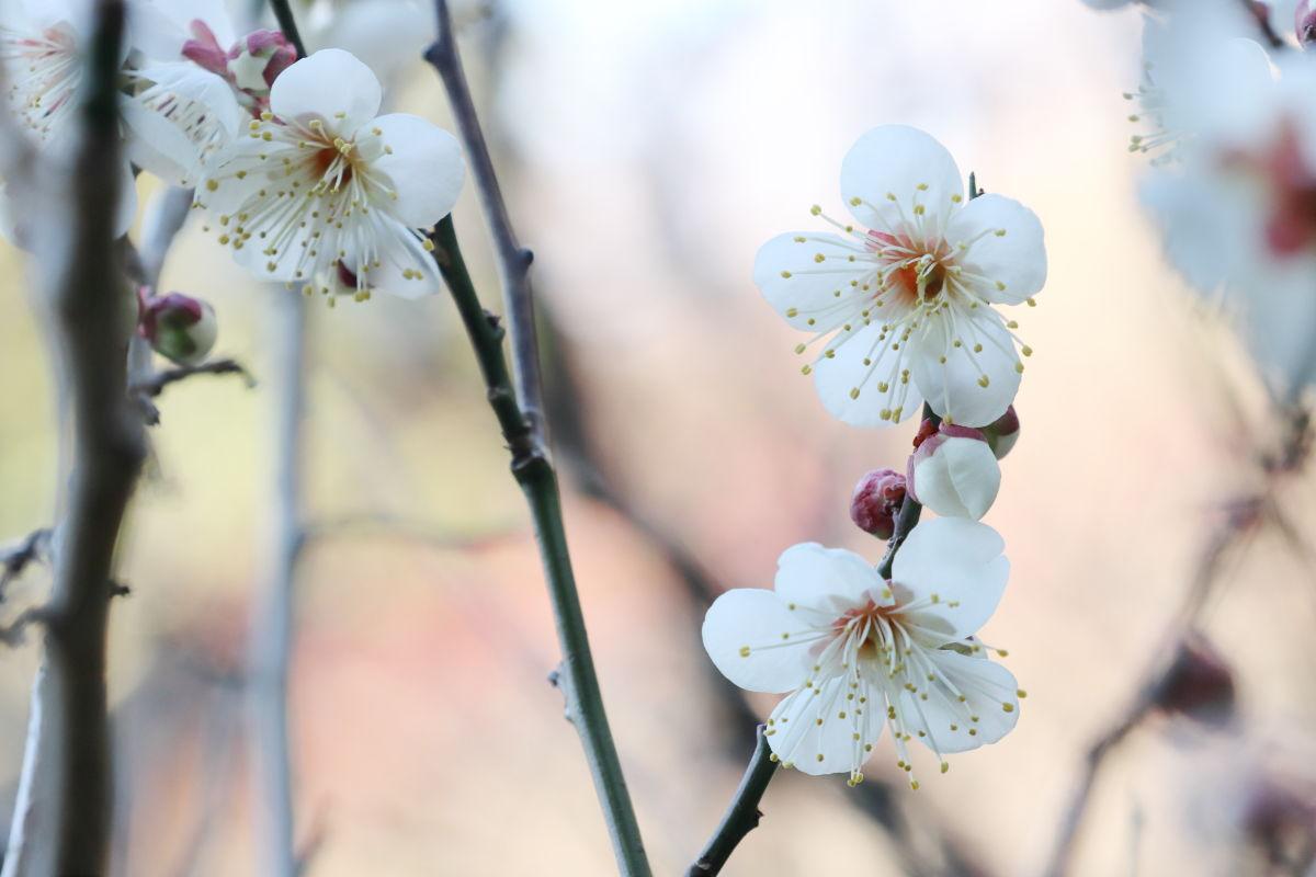保久良梅林の梅