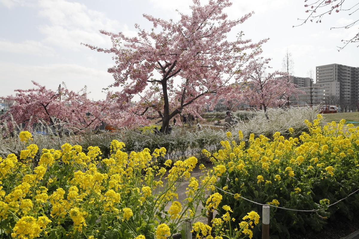 2021年2月13日の河津桜開花状況 西郷川河口公園