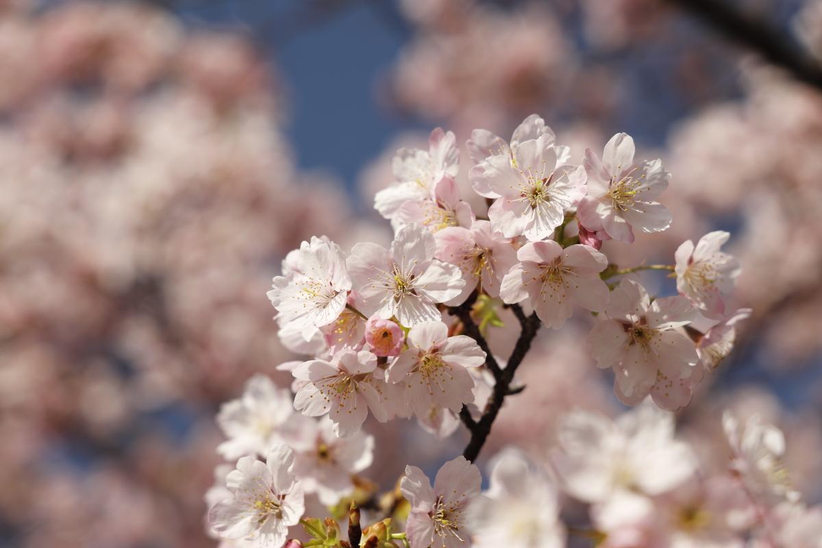 2021年3月8日の河津桜の開花状況