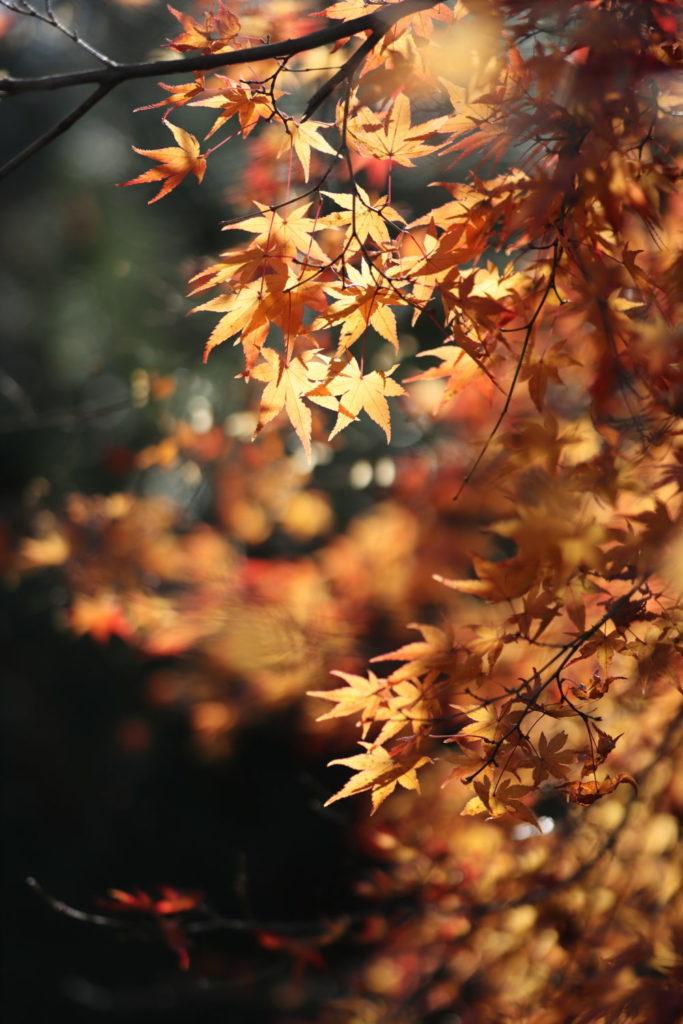 紅葉 逆光 作例写真 SIGMA 50-100mm F1.8 DC HSM Art 京都嵐山にて