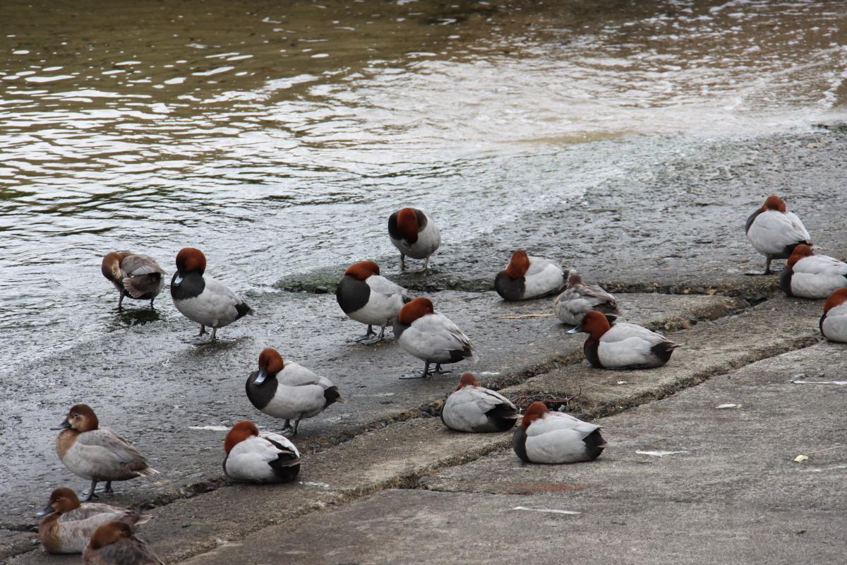 灘浜緑地の水鳥 兵庫県神戸市灘区灘浜東町