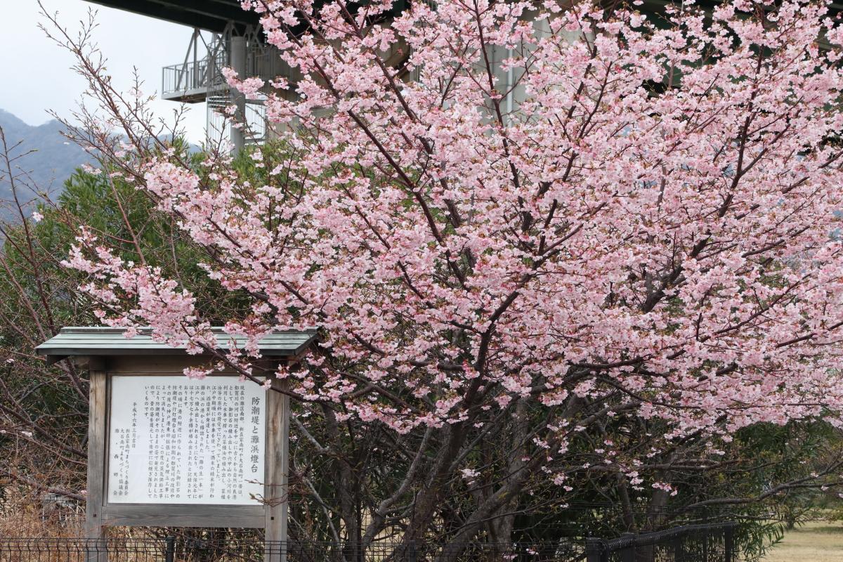 灘浜緑地の河津桜 兵庫県神戸市灘区灘浜東町