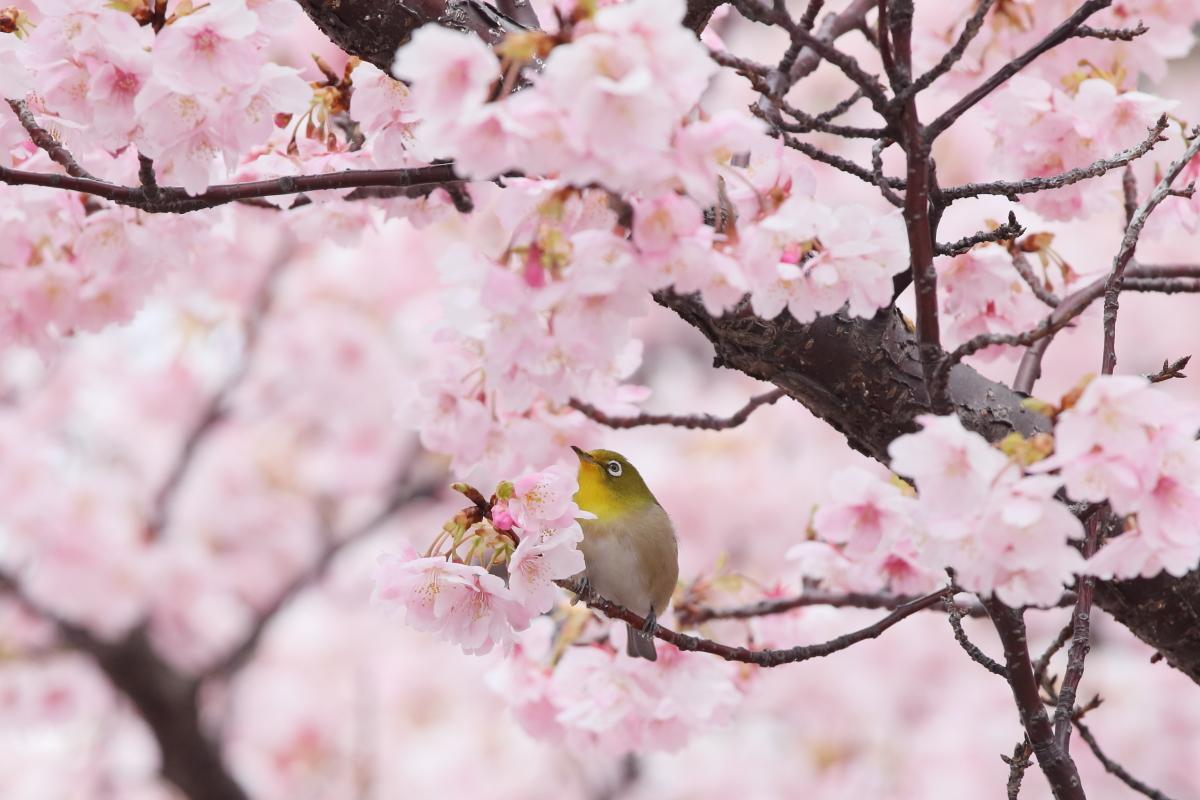 河津桜とメジロ サクジロー 灘浜緑地 神戸市灘区