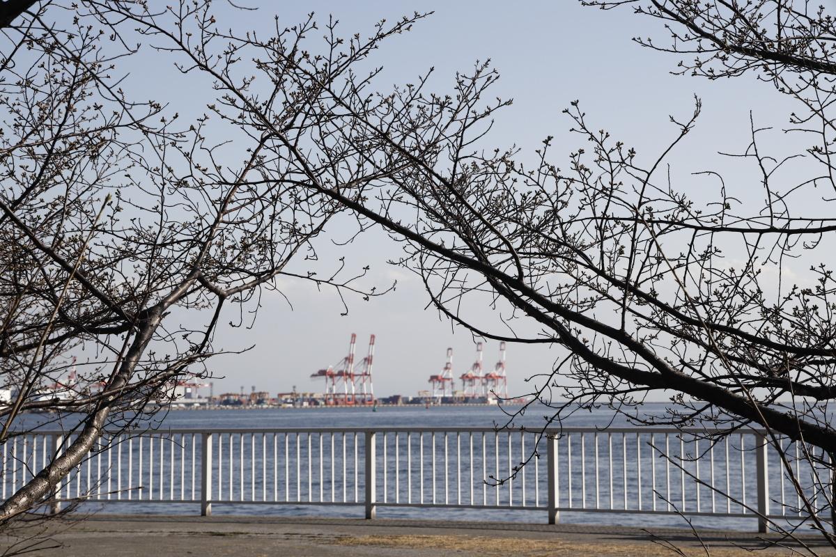 灘浜緑地の河津桜開花状況 2021年2月13日