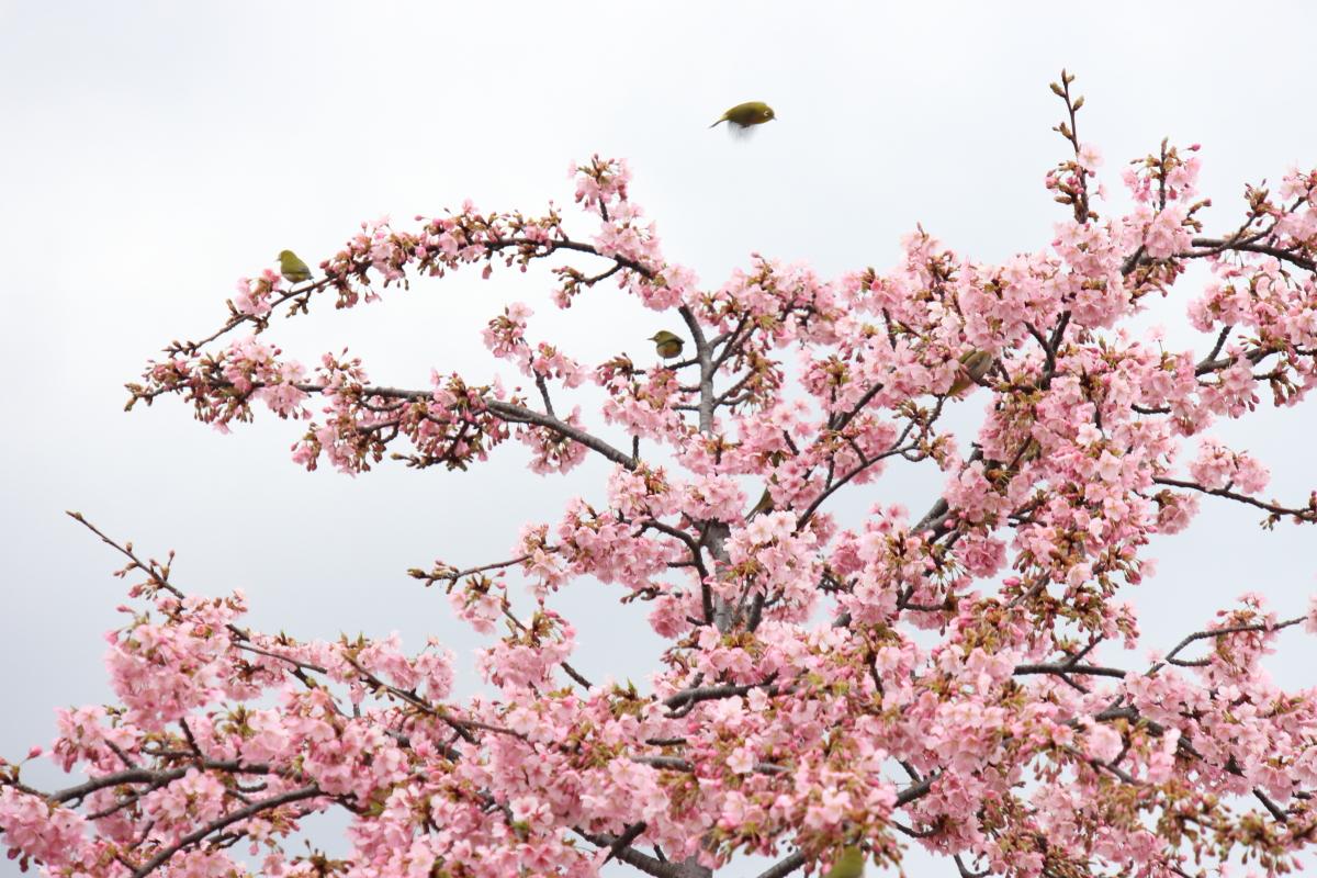 河津桜に集まる小鳥 メジロたち