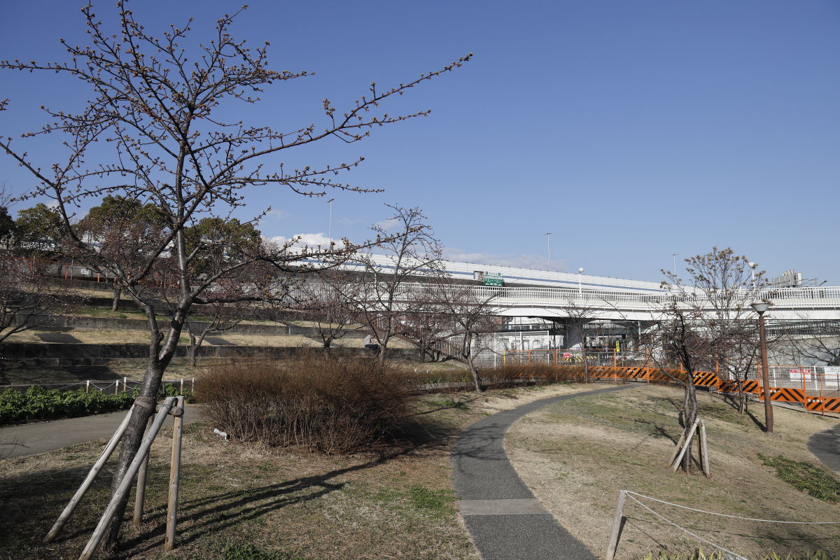 西郷川河口公園の河津桜開花状況 2021年2月13日