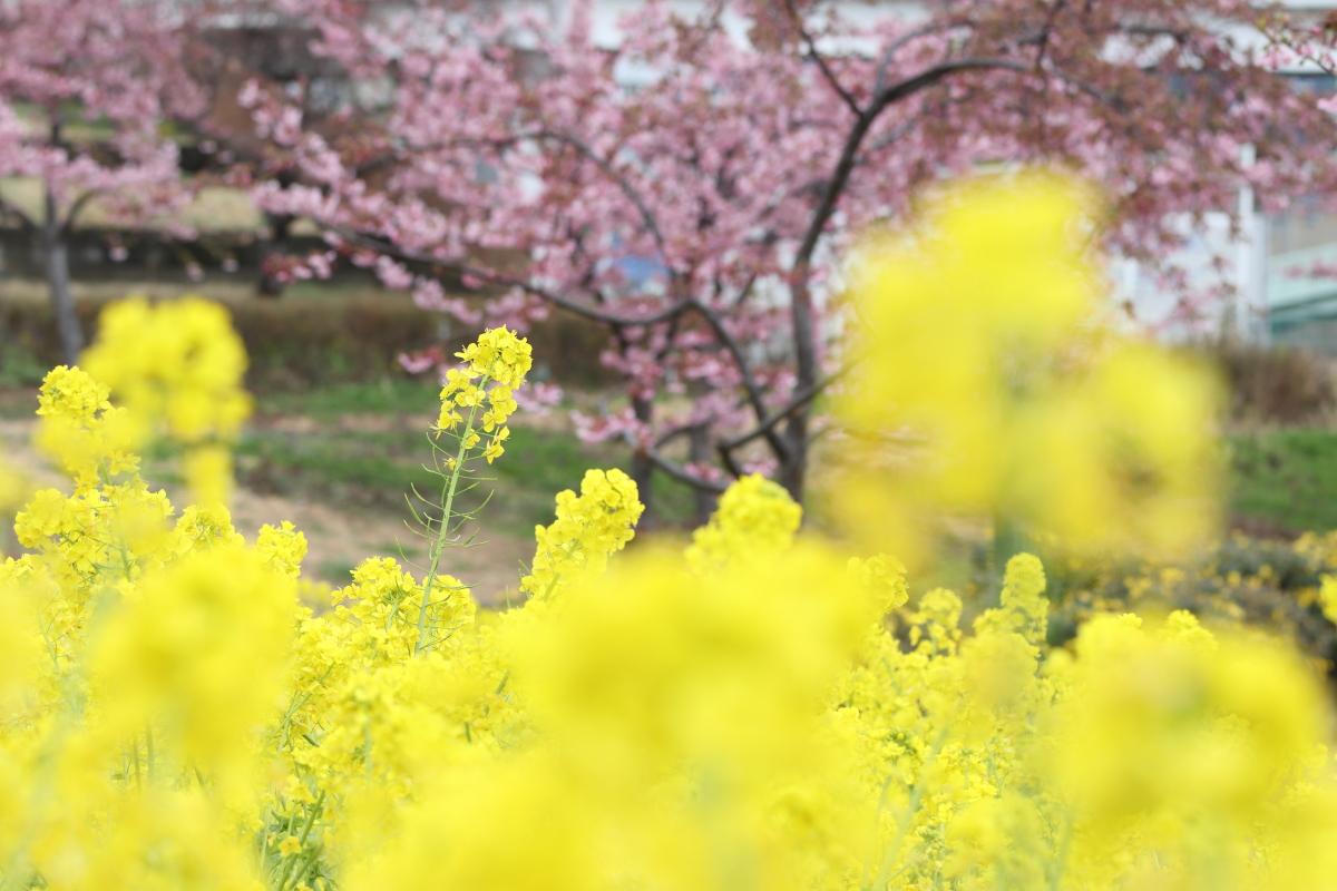 菜の花畑と河津桜 西郷川河口公園 兵庫県神戸市灘区