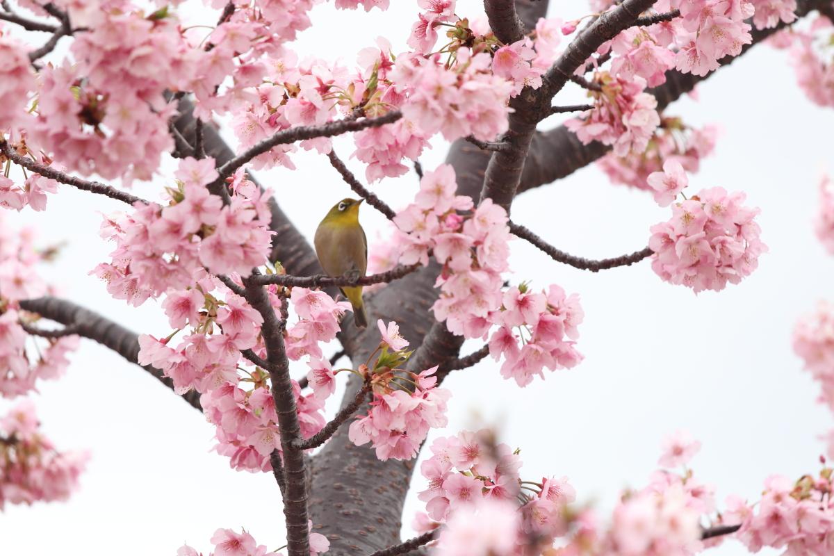 河津桜に集まる小鳥 河津桜とメジロ サクジロー