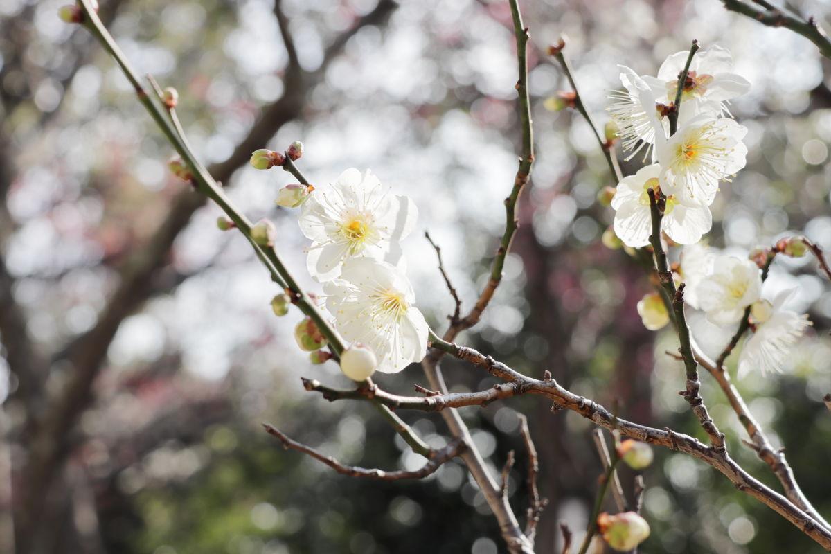 岡本梅林公園 2020年2月10日 梅