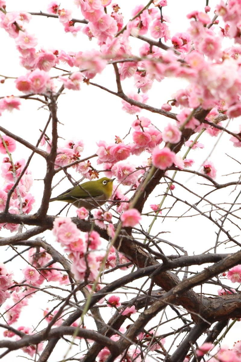 梅ジロー 岡本梅林公園 2020年2月15日の梅の開花状況