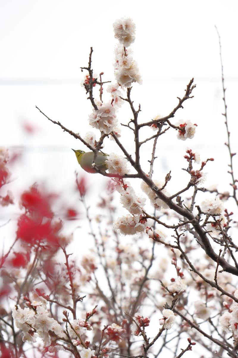 ウメジロー 岡本梅林公園 2020年2月15日の梅の開花状況