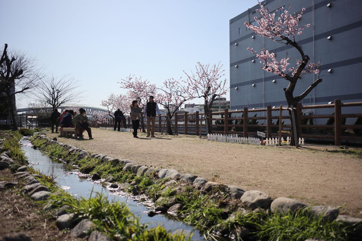 アーモンドの花 水辺の遊歩道うおざきのアーモンド並木
