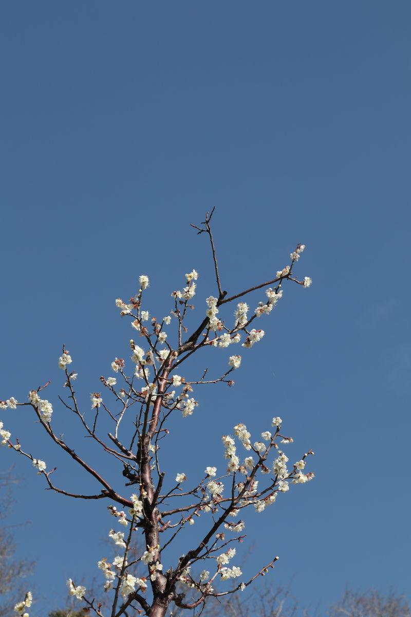 北野天満神社の梅花園