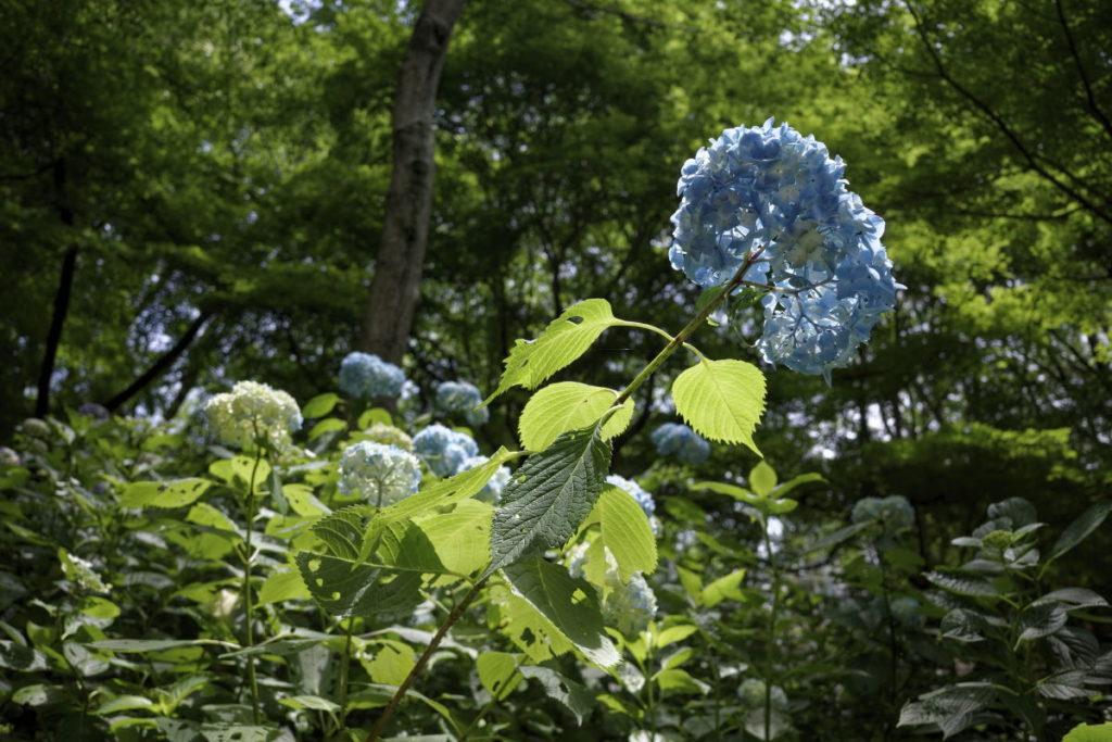 神戸布引ハーブ園の紫陽花