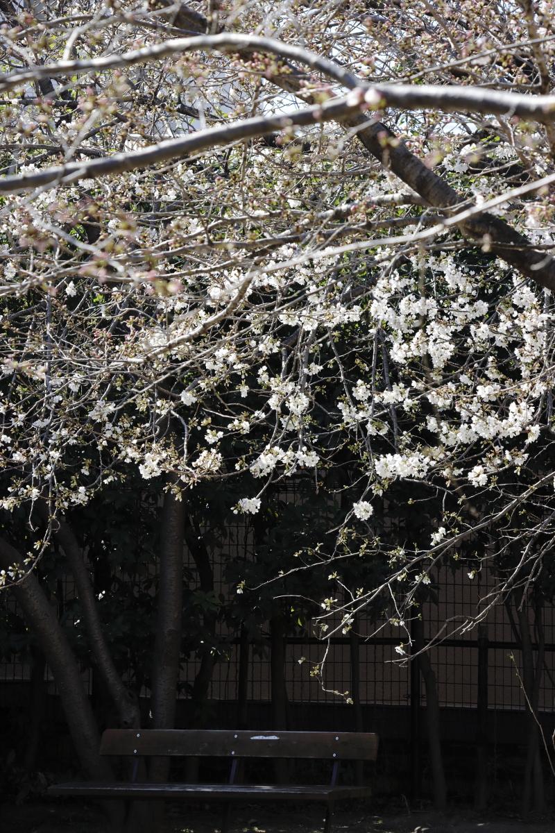 岡本南公園の桜 岡本桜守公園