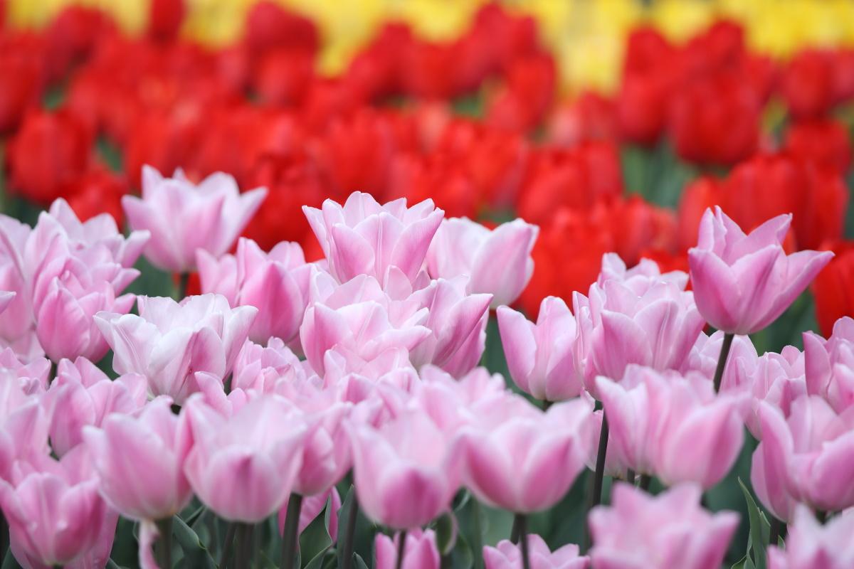 六甲アイランドのチューリップ花壇