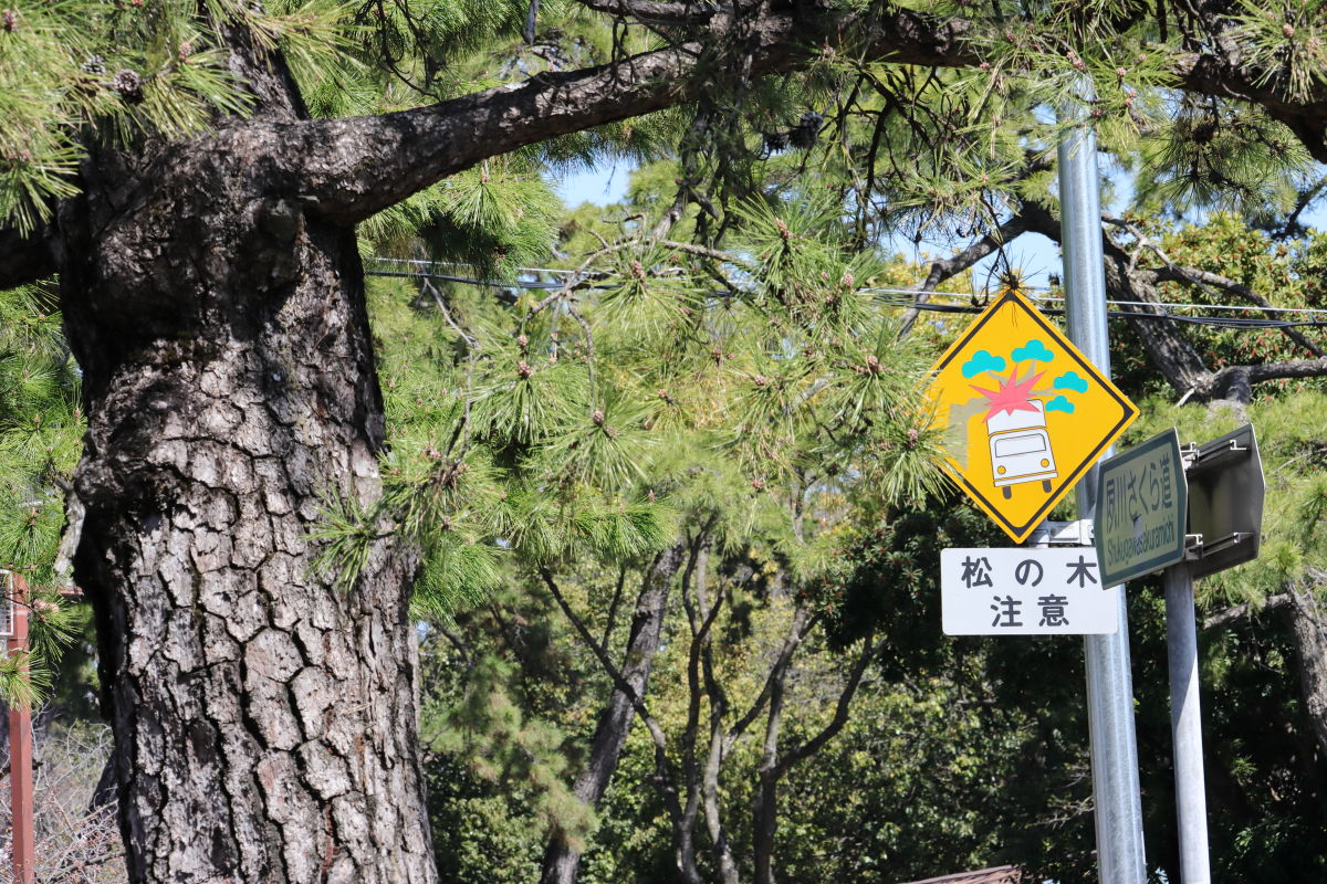 夙川の松の木