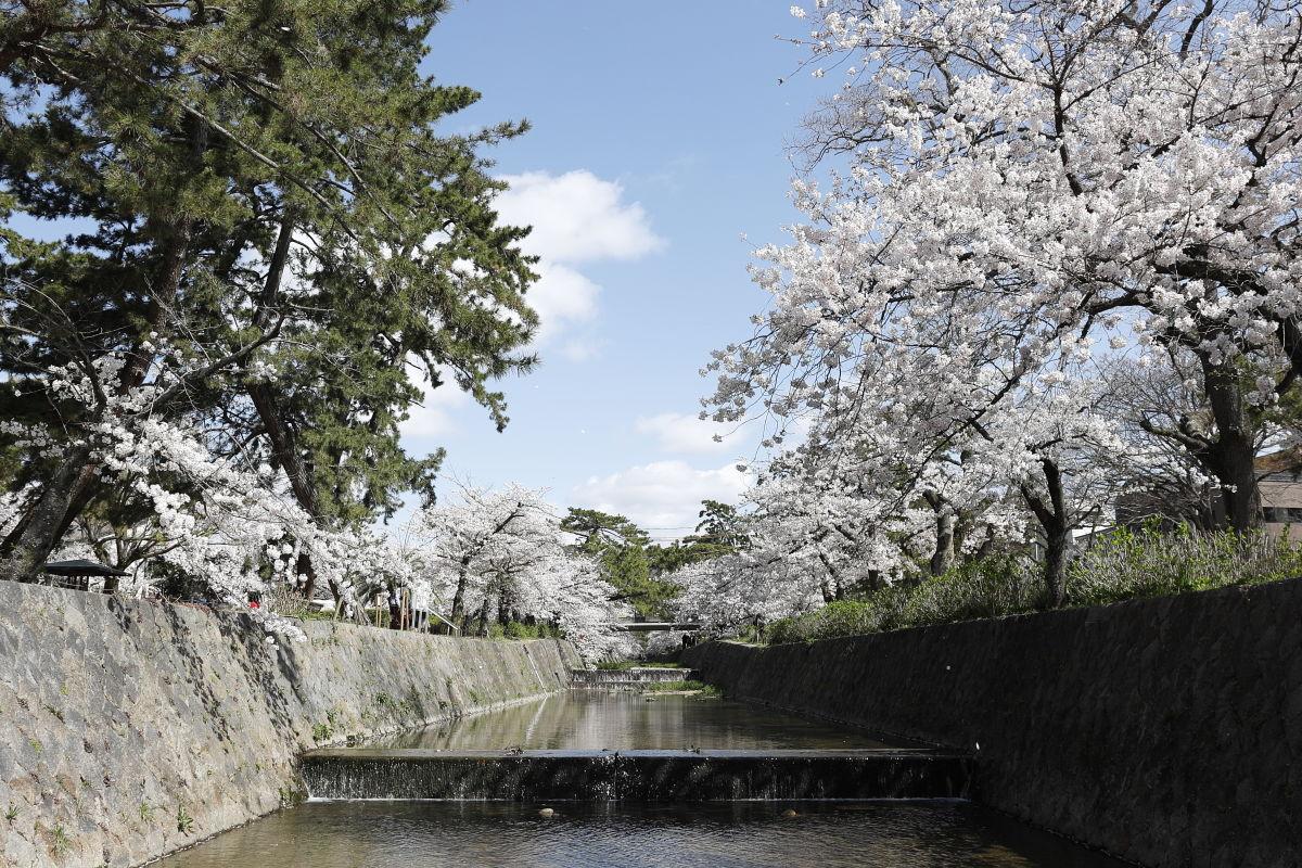 夙川の桜 2020年4月5日