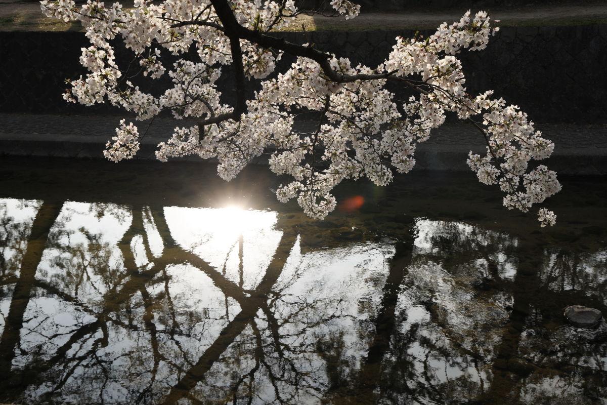 夙川の桜 2020年4月3日