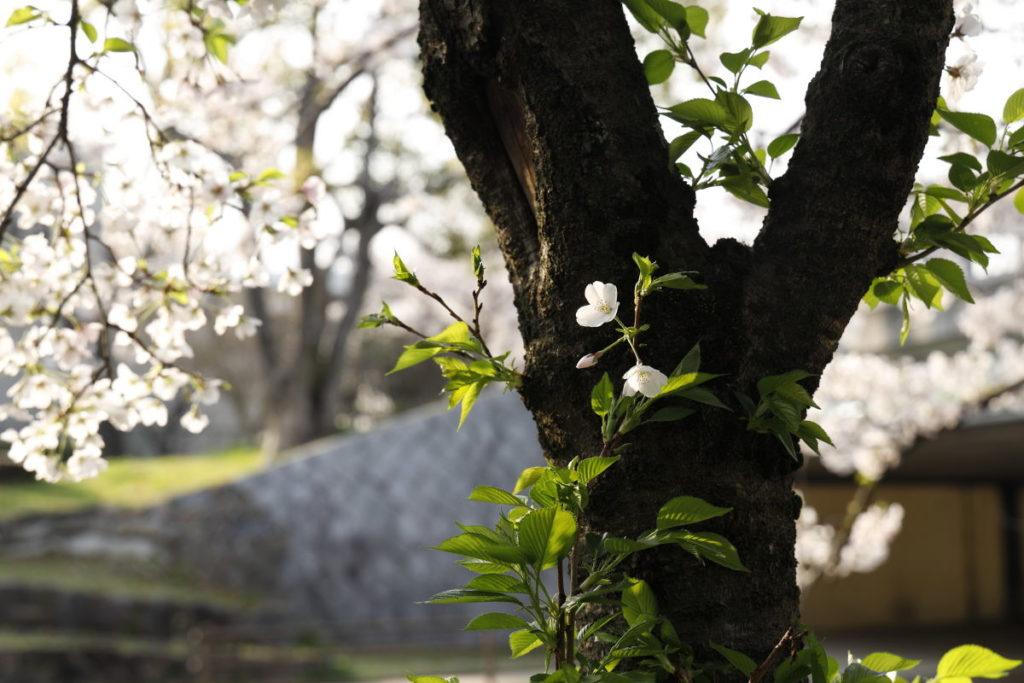 逆光で撮った桜 作例写真